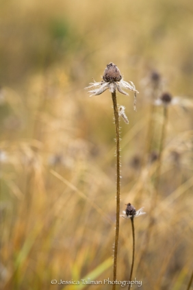 Wildflowers gone to seed in a meadow.